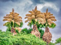 Palmeira Talipot (Leonardo Martins) Tags: talipot palmeira palmeiras palm palmtree árvore tree amor amar love tolove florescência milhõesdeflores flor flower morte death morrer die todie parquedoflamengo flamengopark aterro riodejaneiro southamerica tropical vegetaçãotropical