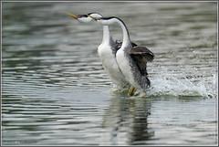 Morning Rush Hour Grebe Style 4222 (maguire33@verizon.net) Tags: aechmophorusclarkii clarksgrebe grebe westerngrebe bird courtship rushing wetlands wildlife irvine california unitedstatesofamerica
