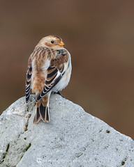 Snow Bunting OBW 21st October (Gavin Vella) Tags: snow bunting birds ukrarebirds rare snowpics bird birdsuk wildlife photography wildlifeuk nature naturephotography natureuk canon 7d mk ii 300mm 28 is gavinvellanature gavin vella wwwgavinvellacom