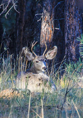 Mule Deer Buck (Buck--Fever) Tags: arizona earthnaturelife arizonawonders deer muledeerbuck muledeer arizonawildlife wildlife northkaibabnationalforest kaibabplateau canon60d tamron18400lens forest