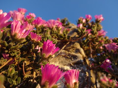 Lampranthus-Rayo de sol enano. (Matí Matias) Tags: