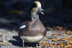 American Wigeon_2019_9410 (Mike Head -Jetwashphotos) Tags: duck drake wigeon americanwigeon bc britishcolumbia canada westerncanada westernregion