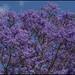 New Farm Park Jacaranda in bloom=