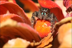 Hello There! (balynas) Tags: jumpingspider spider insect macro nature red