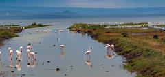 "Flamingo lagoon in Africa (sharpshooter2011.com) Tags: flamingo africa eastafrica landscape water lagoon avainphotography wildlifephotography naturephotography tanzania ""ngorongrocrater"" ngorongro"