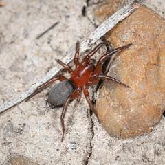 Ground Spider - Arachtober 23 (jciv) Tags: spider mission texas unitedstatesofamerica file:name=dsc01595 macro arachnid arachtober2019 arachtober groundspider