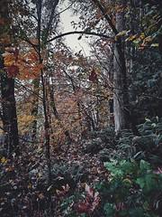 Rains and Fall. (thnewblack) Tags: huaweip30pro leicaoptics smartphone cameraphone outdoors nature britishcolumbia autumn forest rainy vsco inexplore mobilephotography