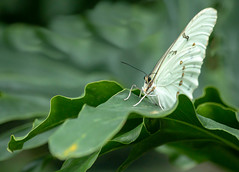 Butterfly elegance (SusieMSB7) Tags: butterfly gardens nature portrait butterflies