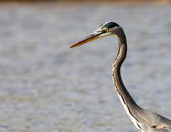 Heron portrait (SusieMSB7) Tags: heron nature birds water pond