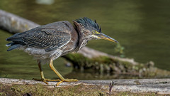 Green Heron  6699 (Paul McGoveran) Tags: bif bird birdinflight greenheron hendrievalley nature nikon500mmf4 nikond850 wings sunrays5 coth5