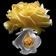 Roses (Explore) (Pixel Fusion) Tags: nature nikon flora flower aperture macro d600 photoshop rose