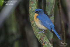 Mangrove Blue-flycatcher (Cyornis rufigastra) (hafizazemi@ymail.com) Tags: animals animal abbott nature malaysia background fauna garden mangrove beak bird birding birdphotography birdwatching brown birds black fujifilm forest flycatcher colorful wildlife explore endermic one green tree white wild hobby photography