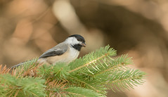Mésange à tête noire // Black-capped Chickadee (Alexandre Légaré) Tags: mésange à tête noire blackcapped chickadee poecile atricapillus oiseau bird avian animal wildlife nature nikon d7500