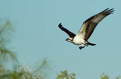 Osprey: Breakfast Time! (rambokemp) Tags: osprey phoenixarizona wetlands wetland bif birdinflight birdinfligh fish sky wildlife wilderness tresrio tree branch canoneos1dxmarkii canonef600mmf4liiisusm