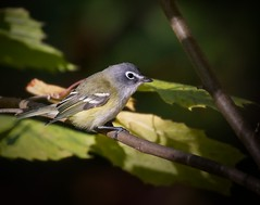 Blue-headed vireo (Goggla) Tags: centralpark blueheaded vireo nyc new york manhattan urban wildlife bird 2019 fall migration