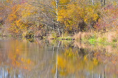 Peaceful Waters (Neal D) Tags: bc chilliwack greatblueheronnaturereserve fall pond trees reflection