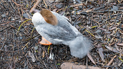 Ashore for a preen (Dave_A_2007) Tags: mergusmerganser bird duck goosander nature wildlife