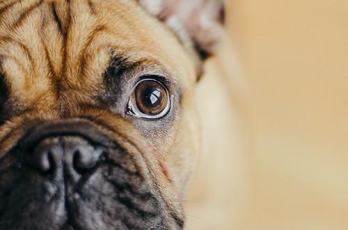 Eye of bulldog. Boxer Dog Portrait.