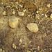 Hillsboro Sandstone (Lower Devonian; northwest of Sinking Spring, Ohio, USA) 1