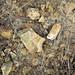 Hillsboro Sandstone (Lower Devonian; northwest of Sinking Spring, Ohio, USA) 6