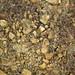 Hillsboro Sandstone (Lower Devonian; northwest of Sinking Spring, Ohio, USA) 4
