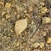 Hillsboro Sandstone (Lower Devonian; northwest of Sinking Spring, Ohio, USA) 3