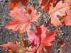 Leaf love --  100_1440