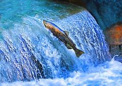 Chinook Salmon (ashockenberry) Tags: ashleyhockenberryphotography animal wildlife wildlifephotography wild wilderness travel tourism nature naturephotography native fish salmon majestic current stream river spawn