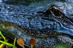 Gator Closeup (BEHP Photography) Tags: nature nikon gator reptile wildlife alligator naplesflorida naturephotography swflorida nikond850 inexplore explore