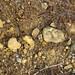 Hillsboro Sandstone (Lower Devonian; northwest of Sinking Spring, Ohio, USA) 2