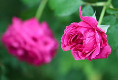 pink roses (Christine_S.) Tags: pinkflowers floralphotography flowers rosegarden ibarakiflowerpark ishioka japan garden nature duo twins double canoneosm5 ef100mmf28l davidaustin ausroyal shrubrose raindrops waterdrops rain ngc npc