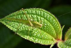 Katydid probably (Phaneropterinae)