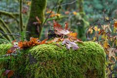 Nature's reclamation #2 (Picture-Perfect Pixels) Tags: autumn history abandoned leaves moss vancouverisland trail cementblocks gowllandtodprovincialpark fall vibrant greens flickrexploreoctober242019