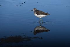 chevalier aboyeur / Tringa nebularia 19D_9823o (Bernard Fabbro) Tags: tringa nebularia chevalier aboyeur oiseau bird