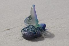 Bluebottle jellyfish, Murrays Beach (RossCunningham183) Tags: jellyfish bluebottle bluebottlejellyfish murraysbeach jervisbay nsw australia boodereenationalpark nationalpark letitglow smileonsaturday