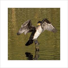 Cormorant pose (prendergasttony) Tags: bird rspb reflection nikon nature tonyprendergast d7200 elements water pennington wildlife wings pose birdwatching birding border