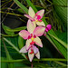 Spathoglottis (Ground Orchid) - Singapore National Orchid Garden