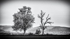 Bloom if you can... (reworked) (Ody on the mount) Tags: abendlicht anlässe blüten bäume em5ii fototour gegensätze mzuiko40150 omd olympus pflanzen schwäbischealb bw blackandwhite miraclesofcreation monochrome sw schwarzweis trees