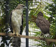 New Guinea Harpy Eagle. Harpyopsis novaeguineae