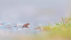 World of thoughts (- A N D R E W -) Tags: toad frog nature wildlife otoño autumn autumnal 300mm f28 canon bokeh dof depth colors