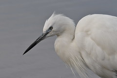 aigrette garzette / Egretta garzetta 19E_2409o (Bernard Fabbro) Tags: egretta garzetta aigrette garzette oiseau bird little egret