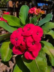 Euphorbia milii Des Moul. Euphorbiaceae-Crown of thorns, โป๊ยเซียน 2e (SierraSunrise) Tags: plants flowers thorny spiny euphorbia euphorbiaceae ornamentals thailand phonphisai nongkhai isaan esarn