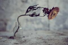 ./º (shawn~white) Tags: stilllife flower floral vintage bokeh retro nostalgia dreamy melancholy helichrysumbracteatum fujifilmxt2 ©shawnwhite closeup cool energy grain wideangle exuberance filmlook fujinonxf16mmf14rwr