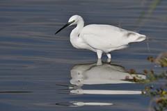 aigrette garzette / Egretta garzetta 19D_9669o (Bernard Fabbro) Tags: egretta garzetta aigrette garzette oiseau bird little egret