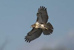 Red-tailed Hawk (Chuck Hantis) Tags: