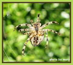 Happy Spider? (maryimackins) Tags: spider wildlife garden happy mary mackins autumn
