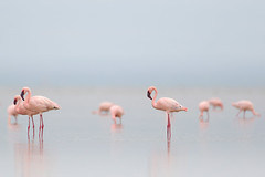 Greater Flamingo (Greg Lavaty Photography) Tags: greaterflamingo phoenicopterusroseus ethiopia august birdphotography outdoors bird nature wildlife africa