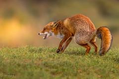 Red fox (Frank Schauf Photography) Tags: animal europa europe mammal netherlands niederlande nordholland northholland redfox rotfuchs säugetier tier vulpesvulpes elitegalleryaoi bestcapturesaoi aoi