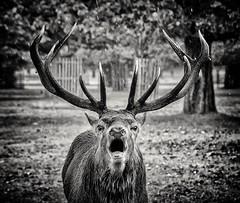 Animal Welcome (Andy J Newman) Tags: teddington england unitedkingdom deer fallow bushypark bushy blackwhite blackandwhte bandw animal
