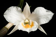 [Sindhuli, Nepal] Dendrobium formosum Roxb. ex Lindl. in N.Wallich, Pl. Asiat. Rar. 1: 34 (1830)